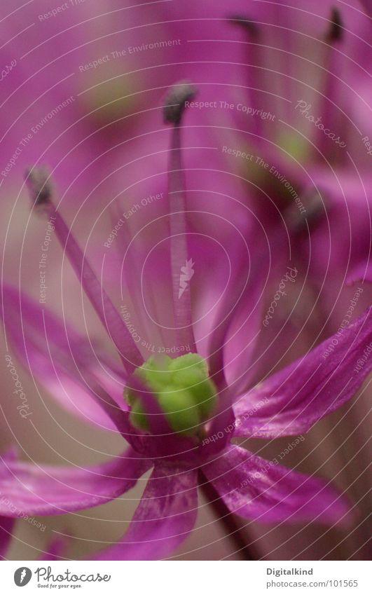 Lauch! Zierlauch!! (3) grün schön blau Pflanze Blume Farbe Leben Blüte hell Wachstum rund Dekoration & Verzierung violett Lebewesen Stengel harmonisch