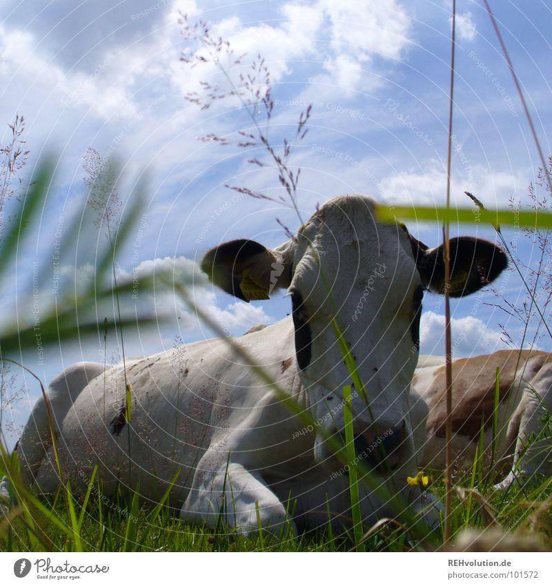 kuhl rumliegen Himmel weiß Sommer Tier Erholung Wiese Gras Tiergesicht Landwirtschaft Kuh Säugetier Maul scheckig Nutztier Vieh Halbschlaf