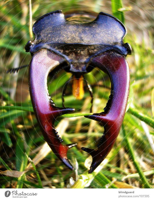 Lucanus cervus [1] Hirschkäfer bedrohlich Horn Zange rot rotbraun Gras grün groß ungefährlich Insekt Umweltschutz Eiche Eichenwald Lebensraum Mandibel