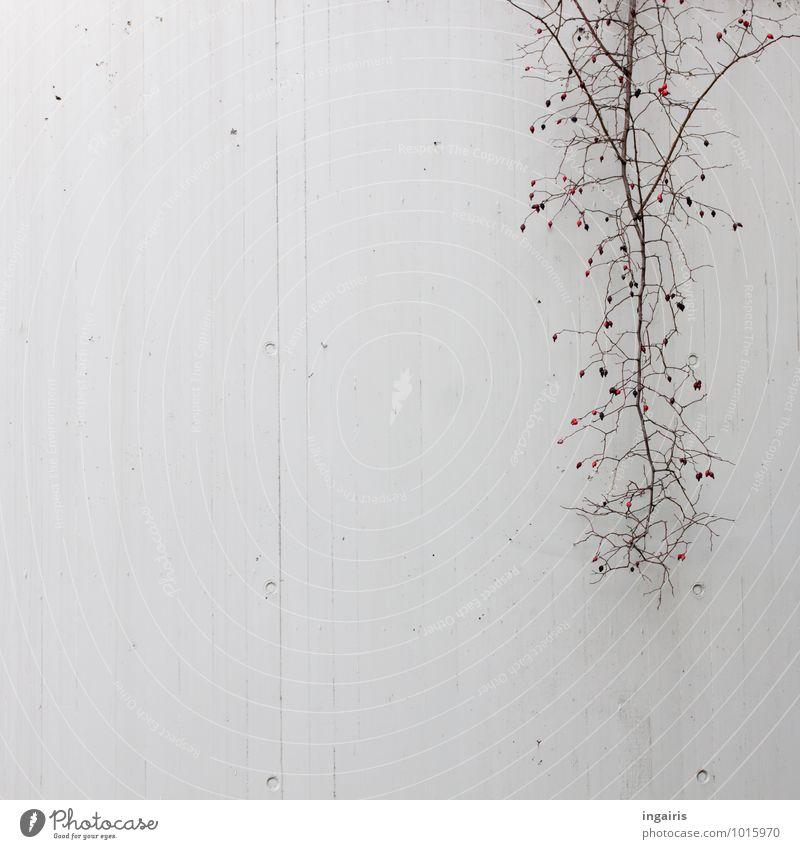 Tristesse Umwelt Pflanze Sträucher Hagebutten Frucht Mauer Wand Beton Betonwand hängen kalt oben stachelig trist trocken Stadt grau rot schwarz Einsamkeit