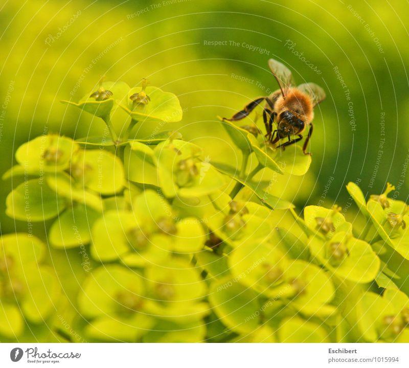 Sonntagsschmaus Natur Pflanze schön Blume Tier gelb Blüte fliegen leuchten Zufriedenheit frei Sex Blühend Vergänglichkeit entdecken Duft
