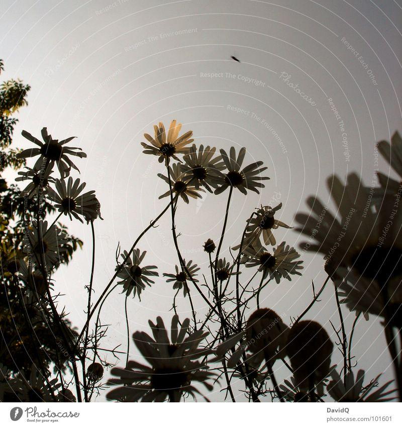 TROPICANA Himmel Pflanze Sommer Blume Blüte geschlossen Wachstum Insekt Urwald Palme aufwärts durcheinander Blütenblatt Heilpflanzen Kamille