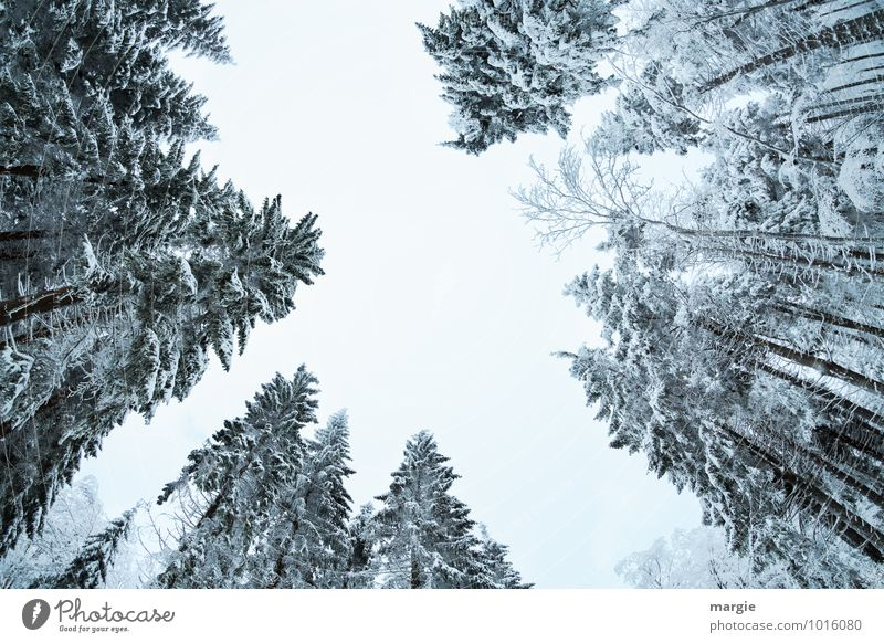 Gespensterfichten: hohe Schneetannen Umwelt Natur Himmel Winter Klima Klimawandel Wetter Eis Frost Schneefall Baum Grünpflanze Wald frieren Wachstum Erfolg