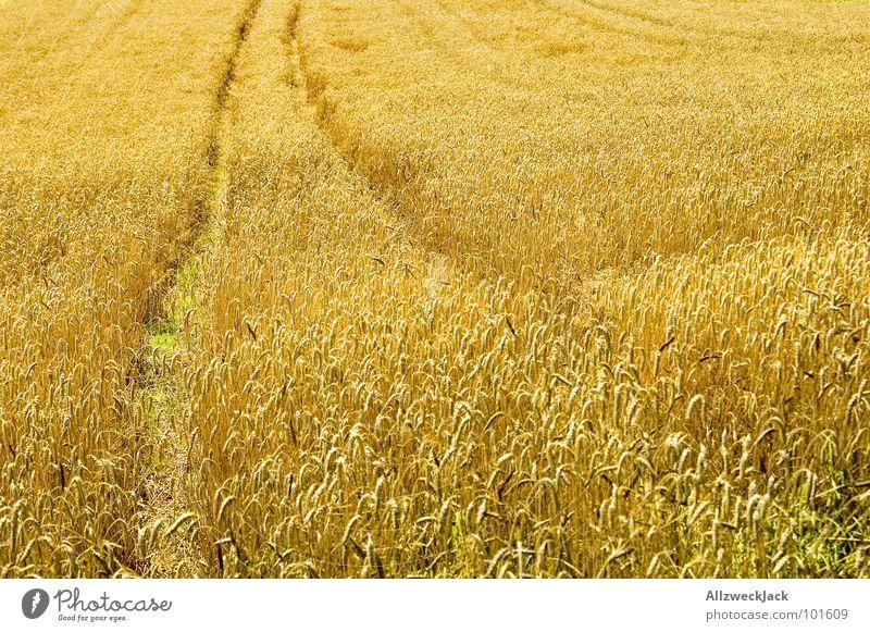 Golden Summer Sommer Feld Ähren Spuren niedlich heiß Physik Feldarbeit ländlich Getreide trekker Ernte gold Wärme Korn Amerika Landwirtschaft Traktorspur
