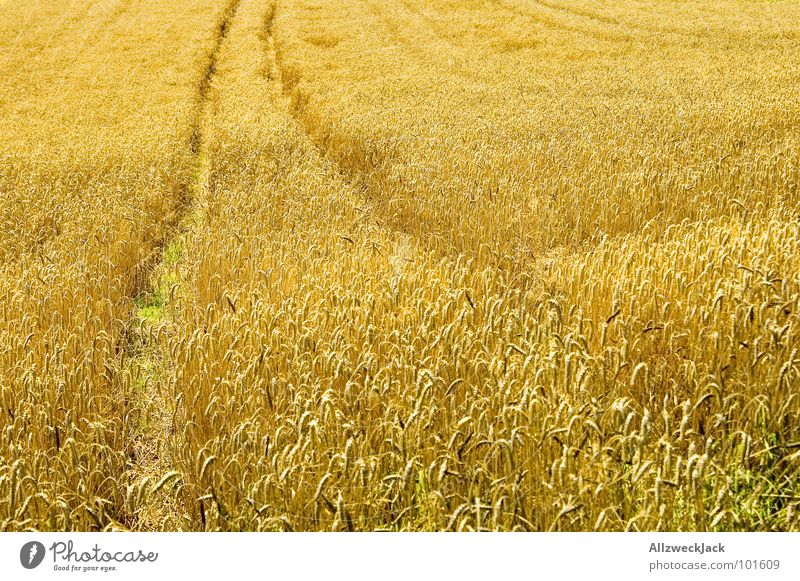 Golden Summer Sommer Wärme Feld gold Physik Spuren heiß Getreide Landwirtschaft Amerika niedlich Ernte Korn Traktor ländlich Ähren