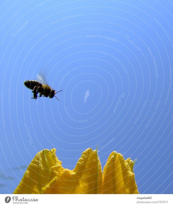 biene im anflug blau Sommer Blume gelb Blüte fliegen Flügel einfach Insekt Biene fliegend Honig bestäuben Vor hellem Hintergrund