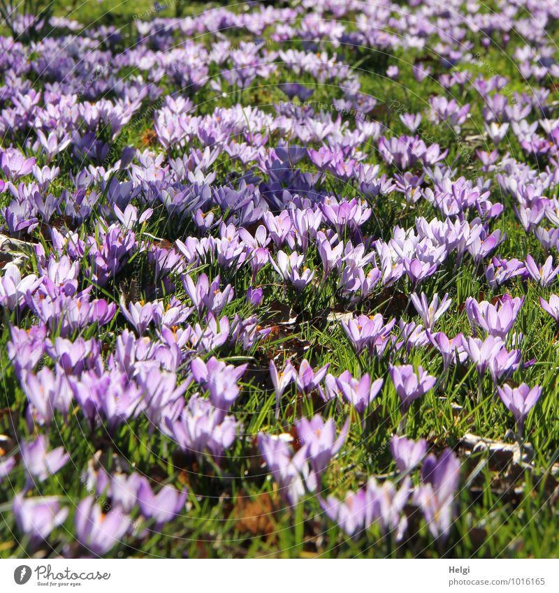 Blütenpracht... Umwelt Natur Landschaft Pflanze Frühling Schönes Wetter Blume Gras Krokusse Frühblüher Frühlingsblume Park Wiese Blühend leuchten stehen