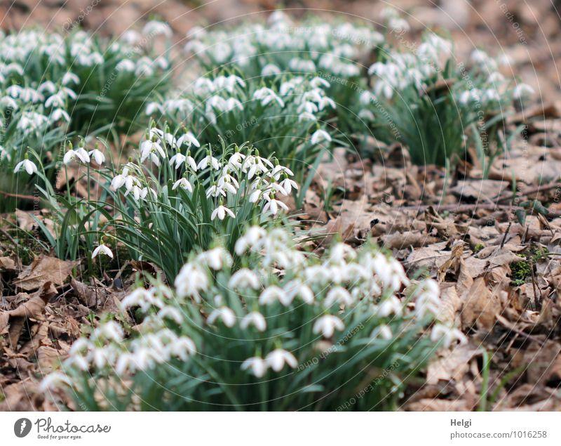im Frühlingswald... Umwelt Natur Landschaft Pflanze Schönes Wetter Blume Blatt Blüte Wildpflanze Schneeglöckchen Frühblüher Frühlingsblume Waldboden Blühend