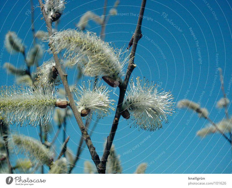 Weidenkätzchen weiß Baum Sträucher Frühling Pflanze blau Knallblau Himel Natur Ast Puschelig
