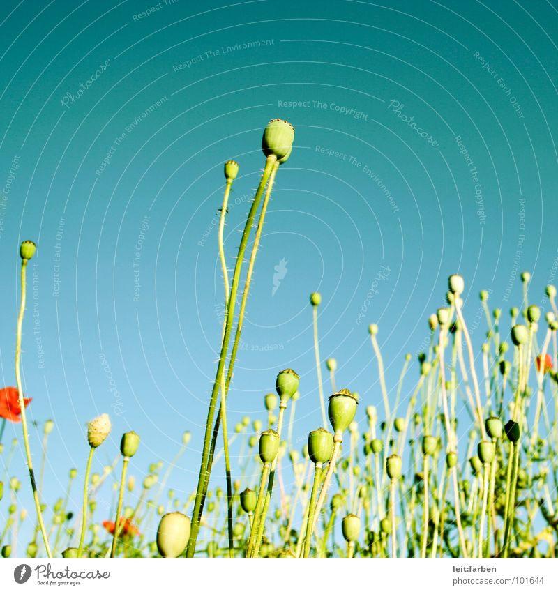 mohnlandschaft Mohn Mohnfeld Blume Blumenbeet Pflanze Blüte grün rot sommerlich leicht mehrfarbig Unbeschwertheit luftig Froschperspektive Außenaufnahme Sommer