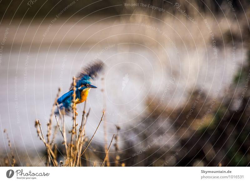 Eisvogel fliegt los Natur blau rot Landschaft Tier Winter Umwelt außergewöhnlich See fliegen braun Vogel Wetter Wildtier Wind Sträucher
