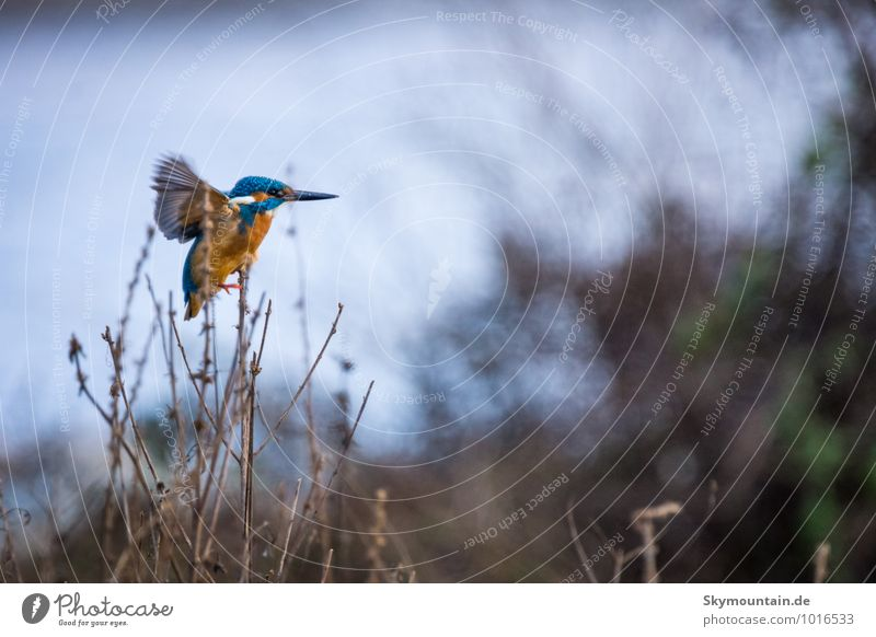 Kingfisher at stormy weather Natur blau Erholung rot Landschaft Tier Winter Umwelt außergewöhnlich See fliegen braun Vogel Wetter Wildtier Wind