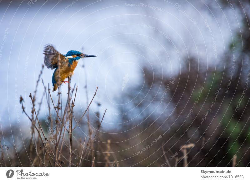 Kingfisher at stormy weather Umwelt Natur Landschaft Tier Winter Wetter Schönes Wetter schlechtes Wetter Wind Sturm Sträucher Seeufer Flussufer Bach Wildtier