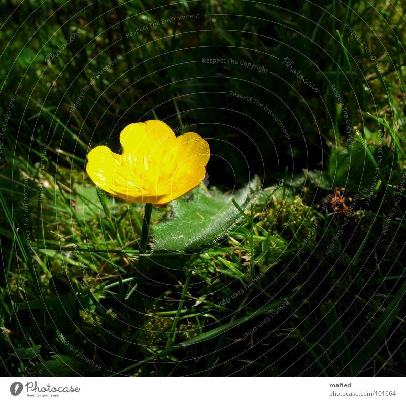 Lichtinsel Hahnenfuß gelb Blume Blüte klein zart Einsamkeit Gras grün Schatten Rasen Pollen Beleuchtung Lampe