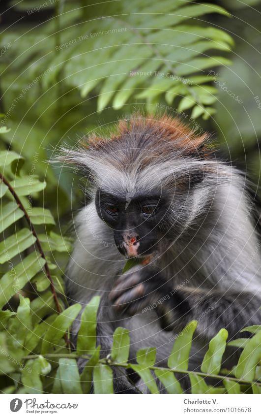 Hmm... Natur Pflanze grün Tier grau Essen braun träumen Behaarung nachdenklich Wildtier genießen Afrika exotisch Urwald Sehenswürdigkeit