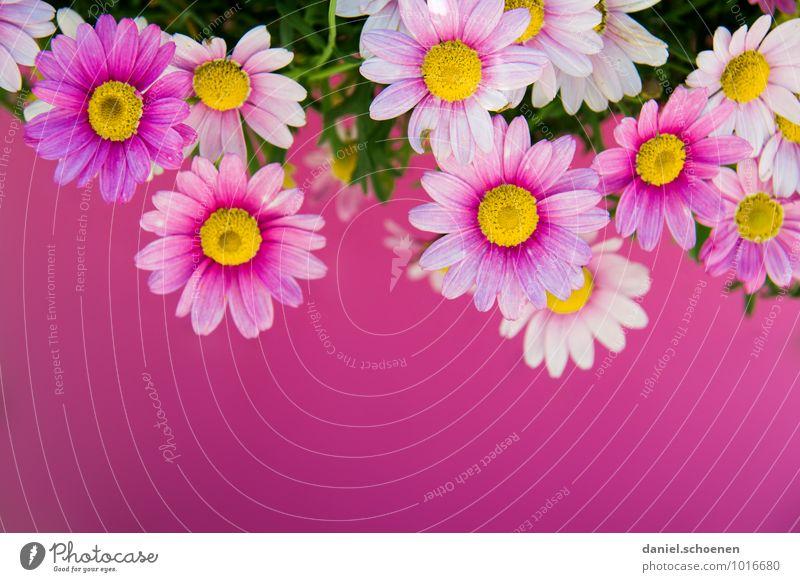 pink Pflanze Sommer Blume Blüte rosa mehrfarbig Makroaufnahme Textfreiraum unten