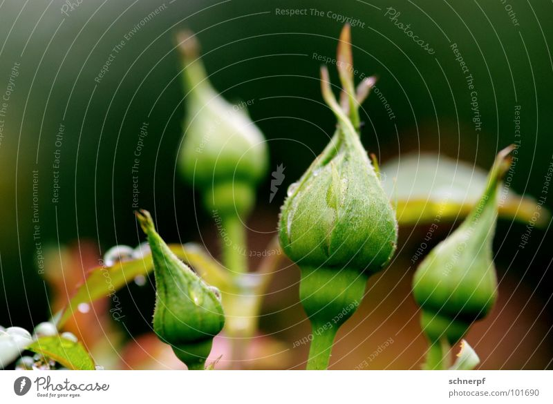 Bis auf weiteres geschlossen grün Blume Rose Pflanze Vorfreude nass feucht 4 Blüte Stengel Zierpflanze Dorn stachelig züchten Produktion Gärtnerei Sträucher