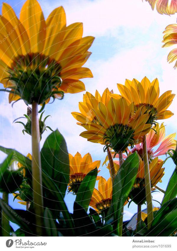 Mittagsgold Blume Sonnenblume Gazanie Mittagsblumen Botanik gelb Sommer Menschenleer vertikal Blüte Landschaft Reifezeit Pflanze orange Graffiti Himmel Natur