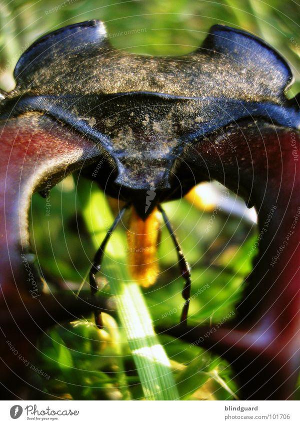 Lucanus cervus [2] ... he's coming closer Hirschkäfer bedrohlich Horn Zange rot rotbraun Gras grün groß ungefährlich Insekt Reptil Umweltschutz Eiche Eichenwald