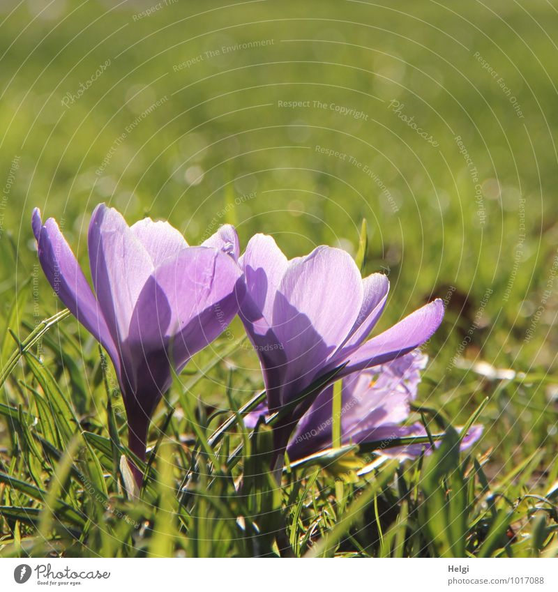 lila... Umwelt Natur Pflanze Frühling Schönes Wetter Blume Gras Blüte Krokusse Frühblüher Frühlingsblume Park leuchten stehen Wachstum ästhetisch schön klein
