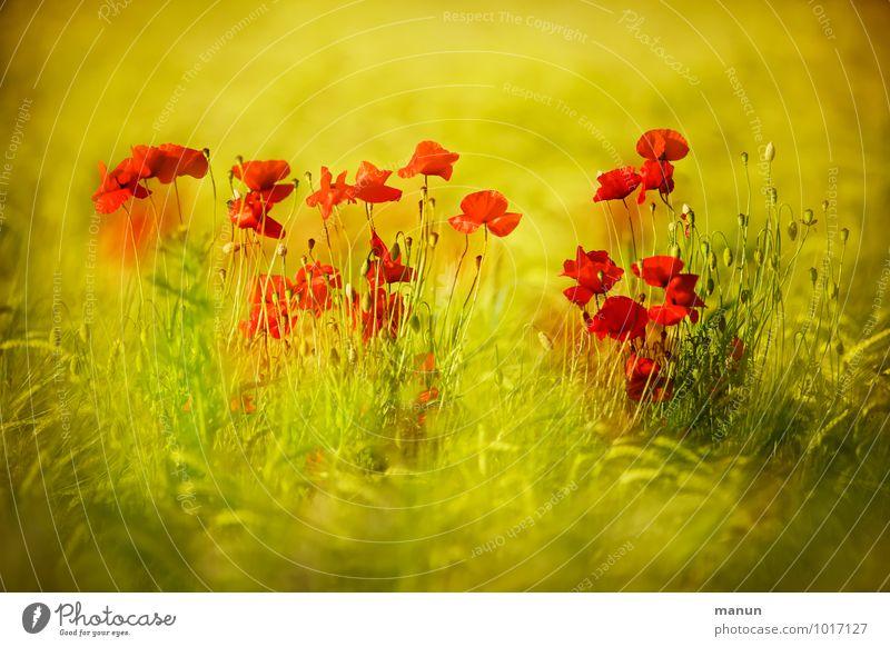 Farbtupfer Natur Frühling Sommer Pflanze Blume Blatt Blüte Nutzpflanze Mohnblüte Weizenfeld Feld natürlich gelb gold grün rot Farbfoto Außenaufnahme