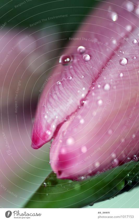 Pink blossom elegant Wellness Leben Hochzeit Geburtstag Umwelt Natur Pflanze Wassertropfen Frühling Sommer Regen Blume Tulpe Blüte Blütenblatt Garten Tropfen