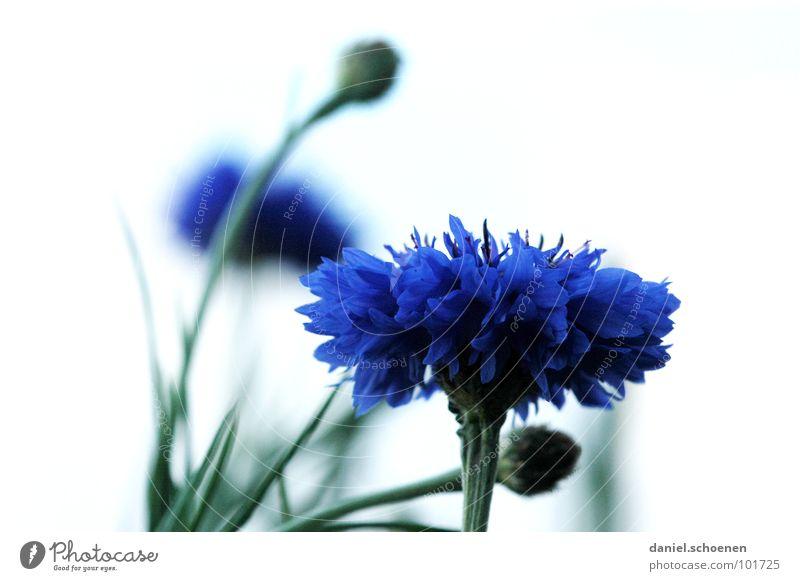 Kornblume Blüte Blume abstrakt Hintergrundbild Unschärfe violett grün Frühling Sommer weiß Detailaufnahme Makroaufnahme blau