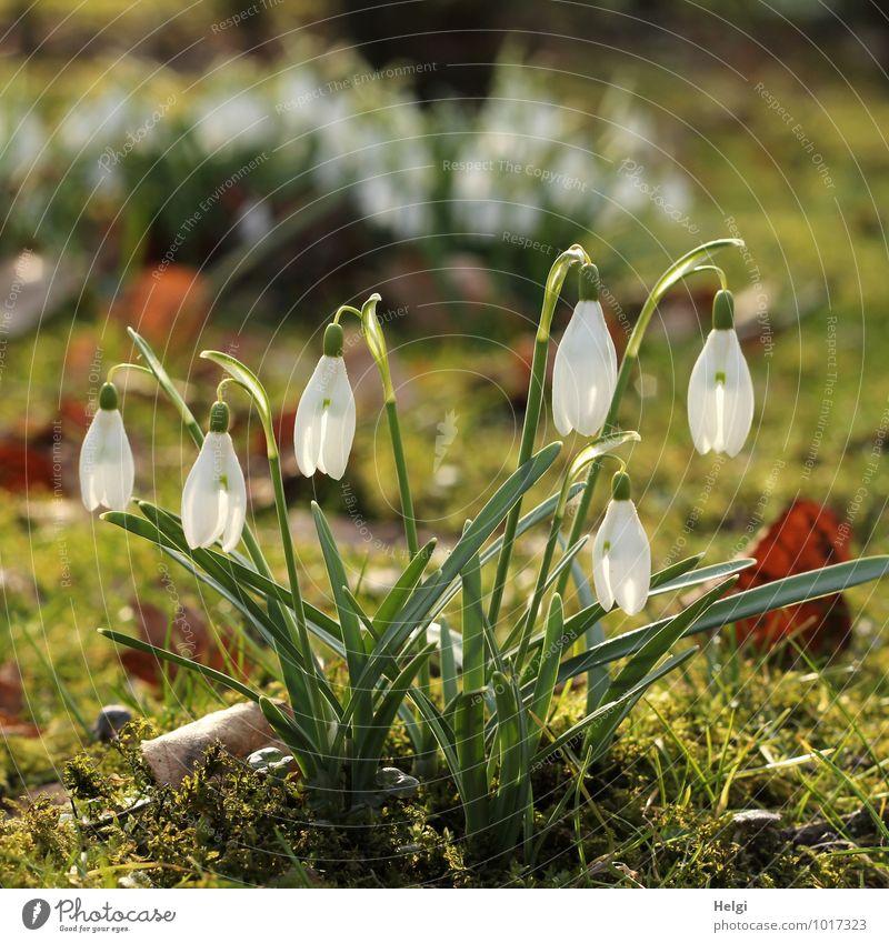 eins noch... Umwelt Natur Landschaft Pflanze Frühling Schönes Wetter Blume Gras Blatt Blüte Schneeglöckchen Frühlingsblume Frühblüher Park Blühend leuchten