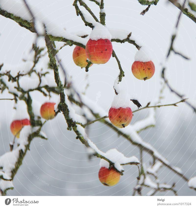 gut gekühlt... Lebensmittel Frucht Umwelt Natur Pflanze Winter Schnee Baum Apfelbaum Ast Garten frieren hängen ästhetisch authentisch außergewöhnlich frisch