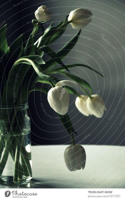 Weisse Tulpen 6 schön grün weiß Wasser Erholung Blume Blatt ruhig kalt Blüte natürlich Stil grau Wohnung Häusliches Leben Design