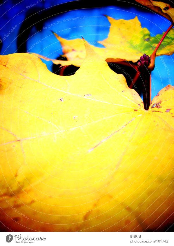 ahorn & bhorn Ahorn gelb Wegrand Herbst Blatt blat grafitti Kontrast blau hochkant