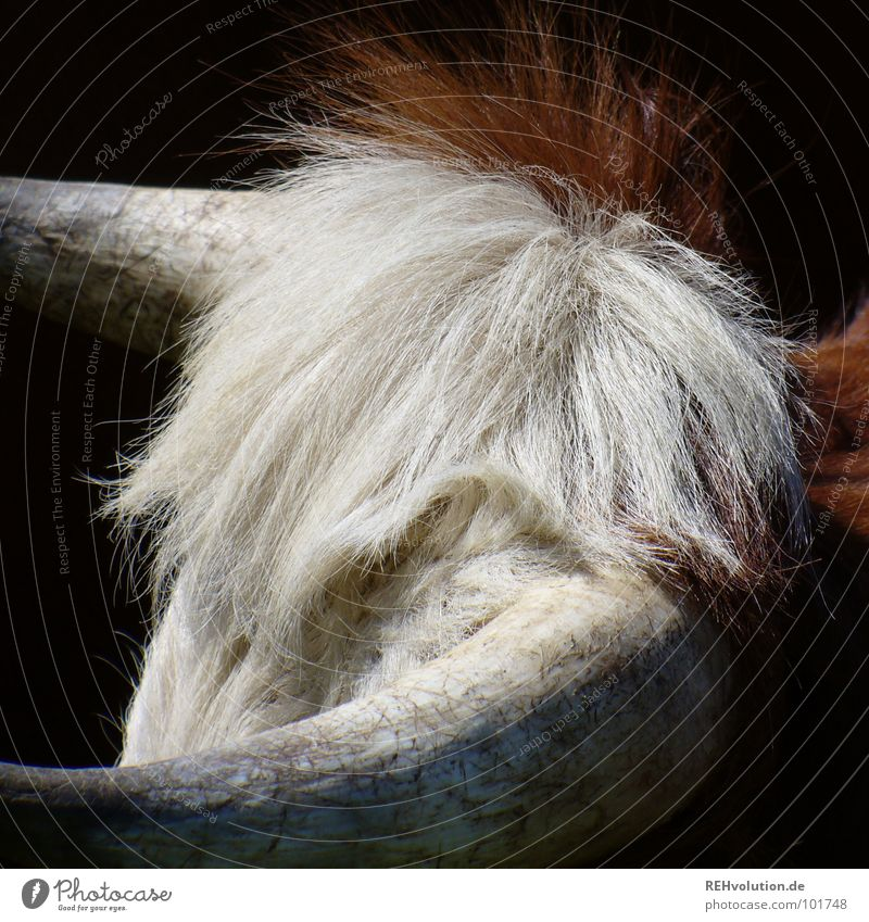 kuhler haarschopf Kuh Rind Vieh Haarschopf Horn rotbraun weiß Fell Wiese Haare & Frisuren Waffe wehren Defensive Rindfleisch Fressen Säugetier Kraft Horchochse