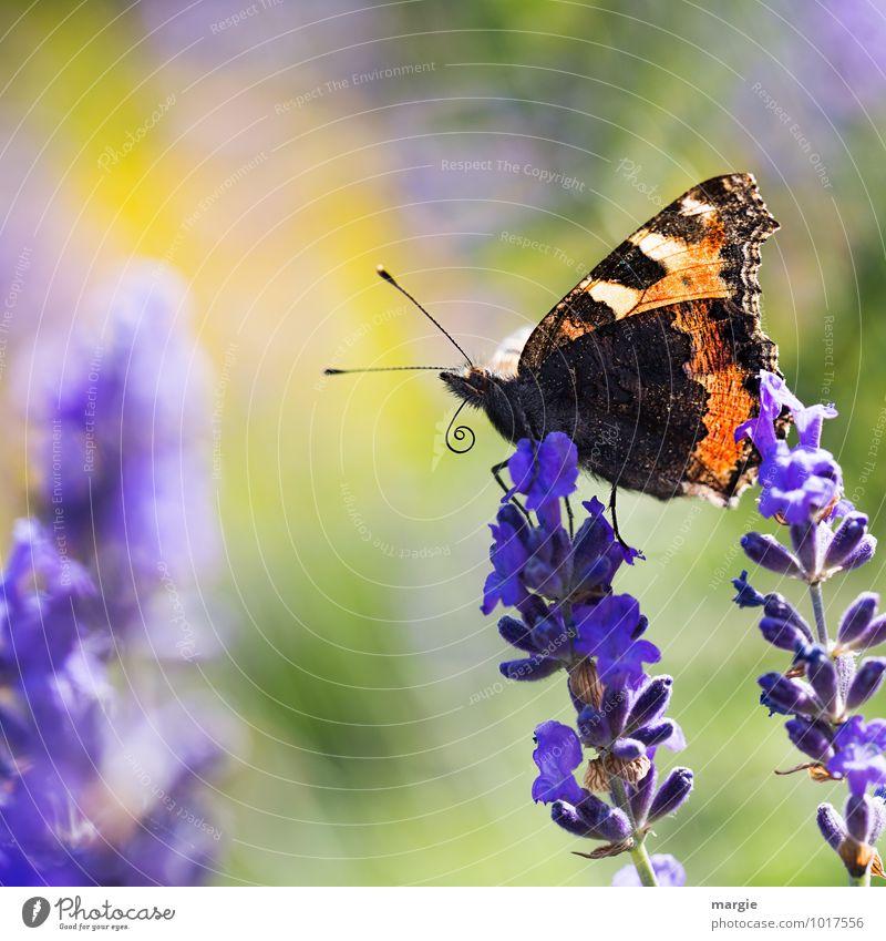 Ein Schmetterling auf Lavendelblüten Umwelt Natur Pflanze Tier Sommer Blume Blüte Wildtier 1 ästhetisch blau schön Freiheit Freude Neugier Fühler Heilpflanzen