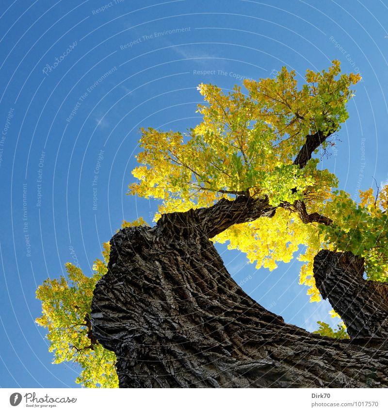Knorrig ... Umwelt Natur Pflanze Wolkenloser Himmel Sonne Herbst Schönes Wetter Wärme Baum Baumstamm Baumrinde Baumkrone Laubbaum Blatt Herbstlaub Park Santa Fé