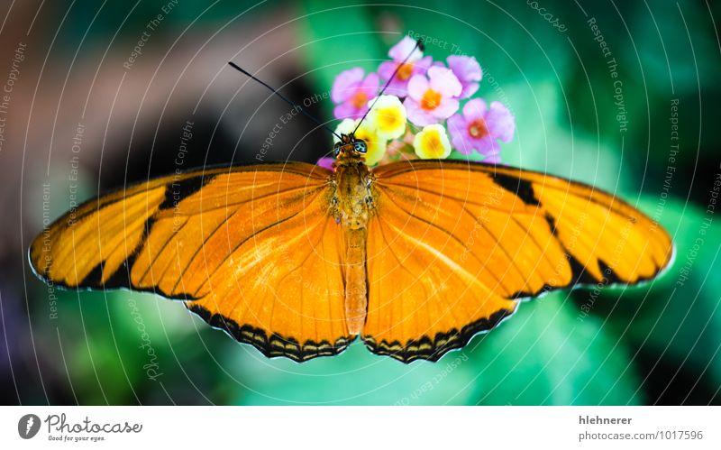 Julia Heliconian Dryas Julia exotisch schön Garten Natur Tier Schmetterling Flügel fliegen natürlich wild braun grün rot Helikonisch orange Insekt farbenfroh