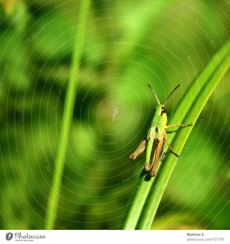 Oh Schreck Heuschrecke Gras Wiese Halm Insekt grün festhalten kleben Fühler Schädlinge Plage festgehalten Auge