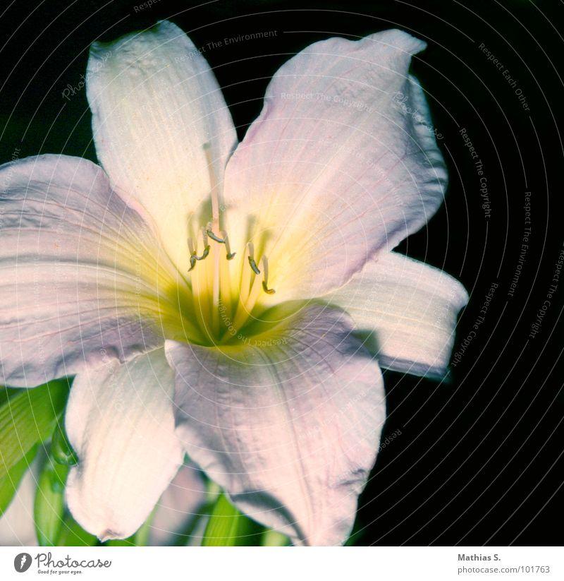 Il fiore weiß Blume grün Pflanze Blüte Gras Glück Erfolg offen Stengel Pollen aufmachen