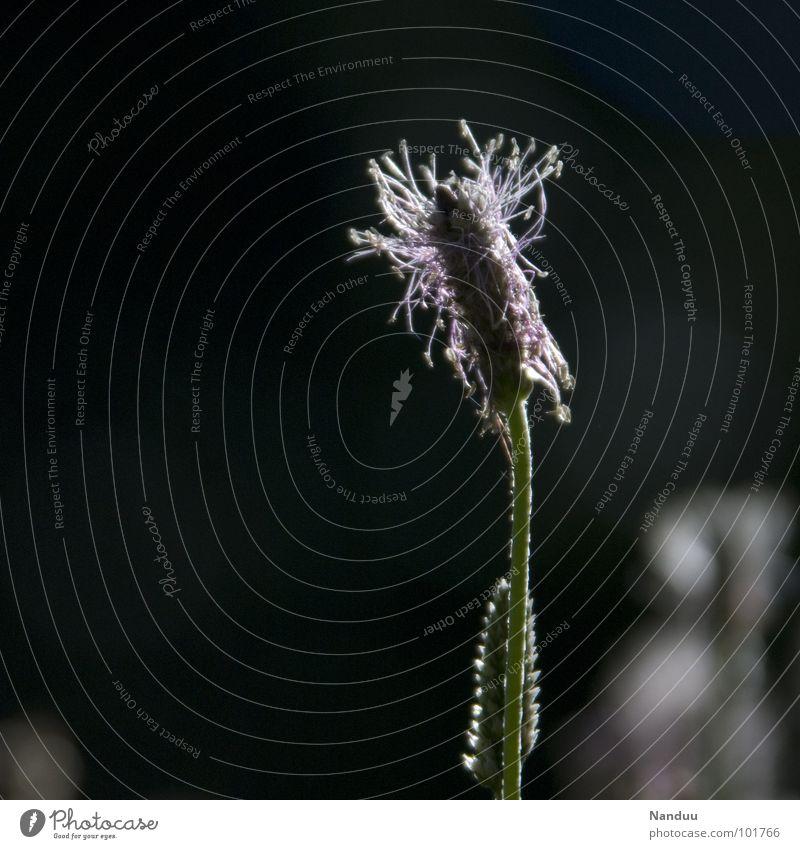 Laternchen Wiese Sommer Spitzwegerich Heilpflanzen dunkel Pflanze Blume Blüte Freizeit & Hobby Gesundheit Makroaufnahme Nahaufnahme Wegerich Pollen Natur