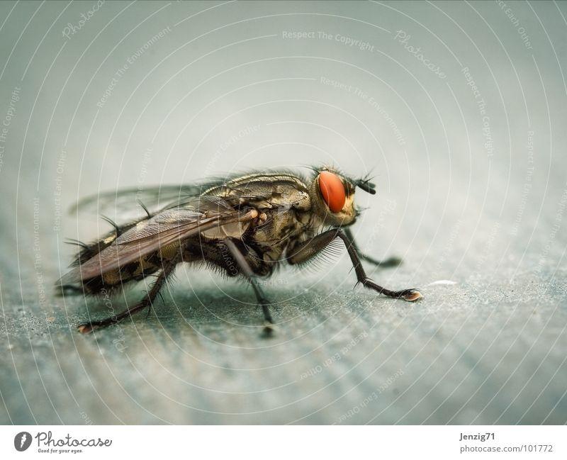 Sarcophaga lateral. Fliege fliegen Flügel Insekt rechnen Schädlinge nerven Fleischfliege