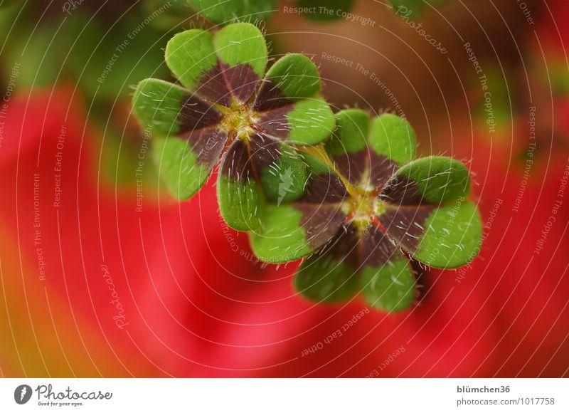 Viel Glück und viel Segen...., Timmitom! Pflanze Kleeblatt Glücksklee vierblättrig natürlich Glücksbringer Glückwünsche Symbole & Metaphern Zeichen Optimismus