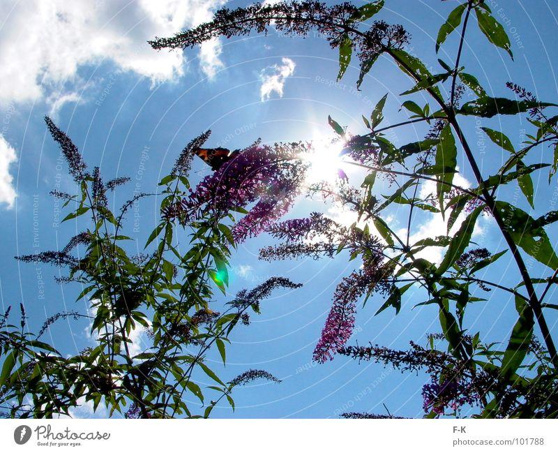 look up to the sky… Sommer Sonne Natur Himmel Wolken Schmetterling blau grün violett Insekt Tagpfauenauge Fliederbusch Sonnenstrahlen