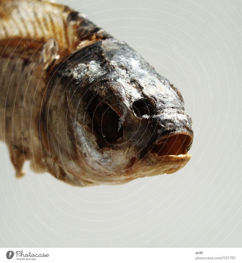 salzig und trocken Tier Tod Fisch trocken Fleisch Scheune Dürre Skelett Salz getrocknet salzig Fischgräte Verwesung