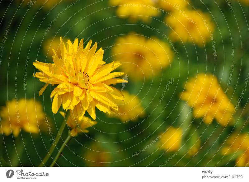 Sunny day. Sommer Garten Lampe Pflanze Frühling Blume Gras Wiese verrückt gelb grün Löwenzahn buschig Blumenwiese Blumenbeet flower Beleuchtung Sonnenblume
