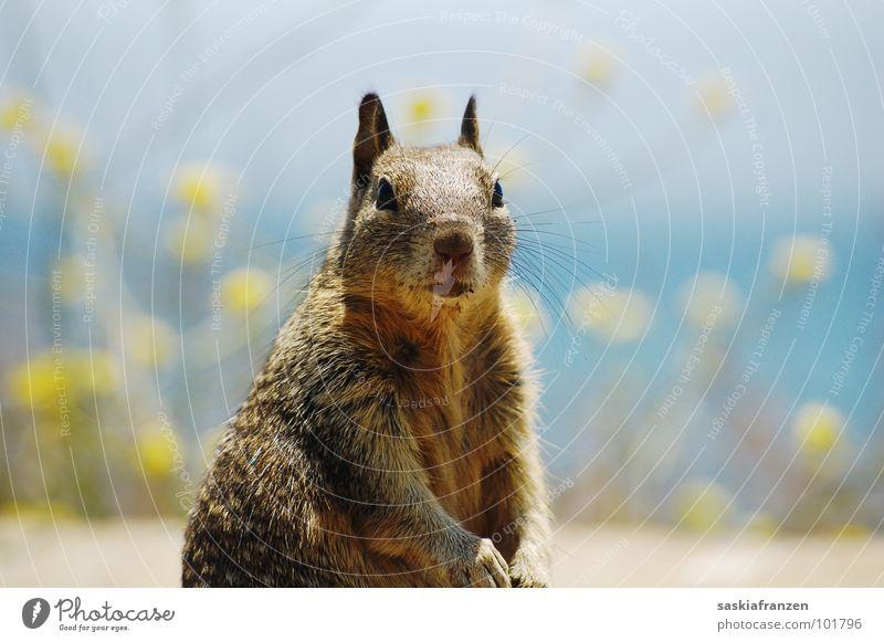 Erdhörnchen. Wasser Himmel Meer Blume blau Tier gelb braun Küste USA Fell Neugier Säugetier
