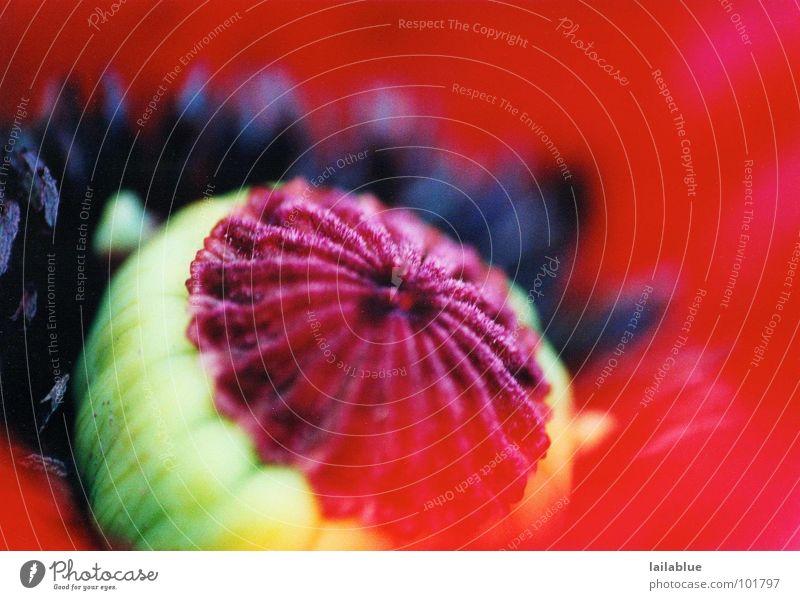 red passion Natur grün schön rot Pflanze Sommer Blume schwarz Wärme Vergänglichkeit Warmherzigkeit heiß zart nah Blühend Mohn