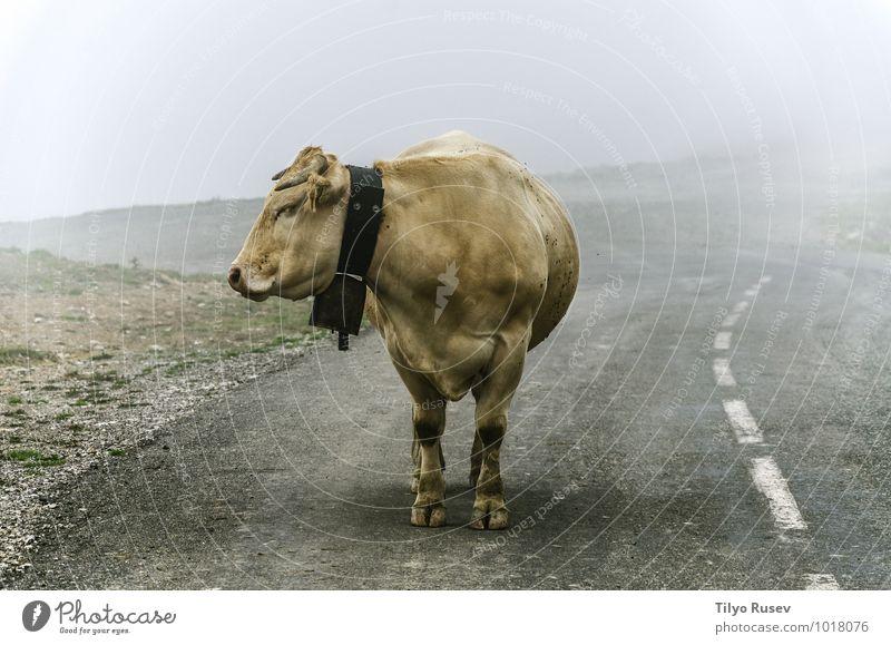 Kuh auf der Straße schön Berge u. Gebirge Natur Tier Winter Nebel Wege & Pfade Autobahn nass Bauernhof Single kalt Höhe bleibend verirrt farbenfroh Navarra