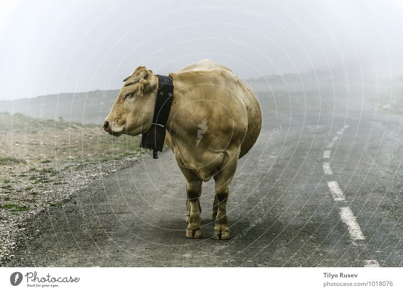 Natur schön Tier Winter Berge u. Gebirge Straße Wege & Pfade Nebel stehen warten nass Spanien Bauernhof Kuh Autobahn Höhe