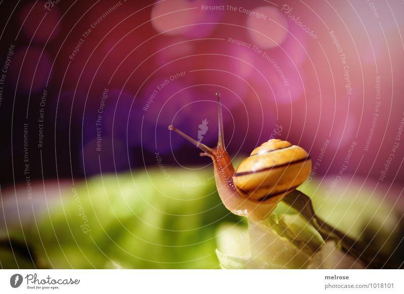 aufgewecktes Kerlchen Umwelt Natur Sonne Herbst Schönes Wetter Pflanze Grünpflanze Kopfsalat Salatblätter Salatstrunk Garten Tier Schnecke Weichtier nachtaktiv