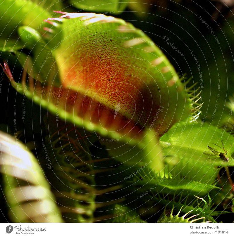 Fleischfresser Pflanze grün rot Fressen gefangen gefährlich Venusfliegenfalle Sonnentaugewächse lockstoffe Ernährung Hinterhalt
