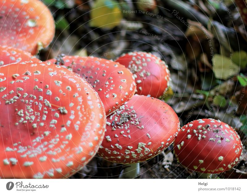 Kappenfest... Umwelt Natur Herbst Blatt Pilz Pilzhut Fliegenpilz Waldboden stehen Wachstum ästhetisch außergewöhnlich schön einzigartig natürlich rund braun